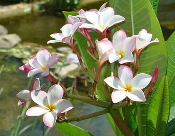 プルメリアは初夏~秋まで咲く
