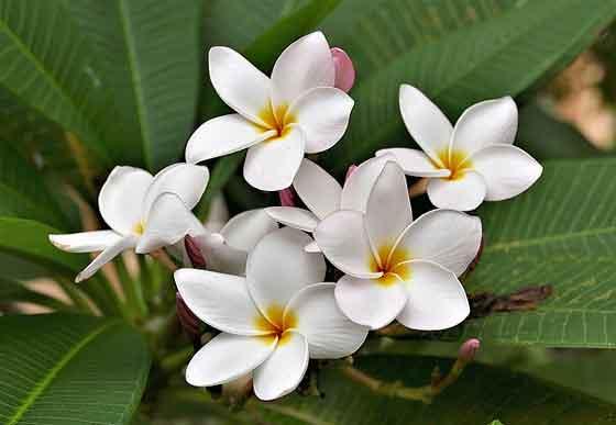 プルメリアは熱帯植物です