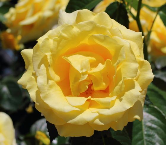 プリンセスマイケルオブケントは黄色いバラ