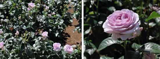 ブルーパフュームは四季咲き性です