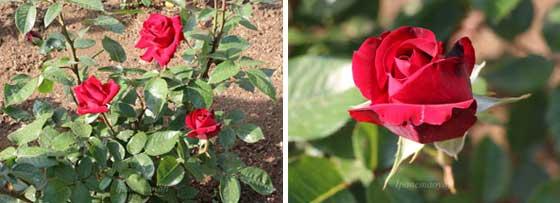 イングリッドバーグマンは赤色バラ