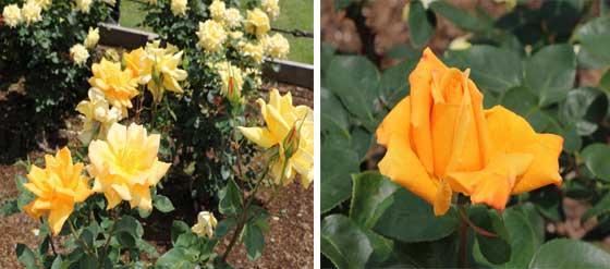 金閣は山吹色のバラ