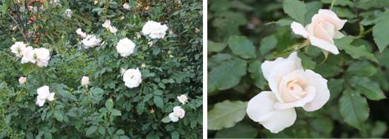 ルブランは純白のバラです