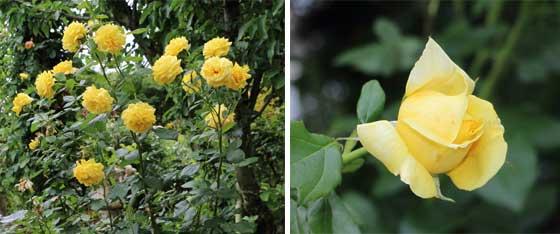 ロートレックは黄色いバラ