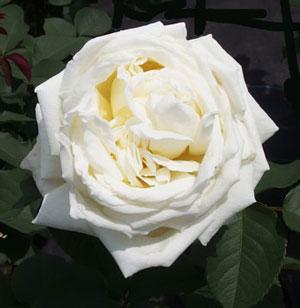 ロイヤルプリンセスは白色のバラ