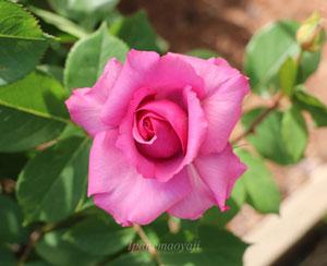 紫雲は大輪咲きのバラ