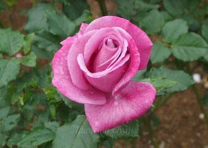 ショッキングブルーは四季咲き性です