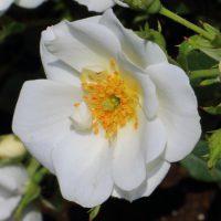 ミニチュアローズ系統の白色のバラ