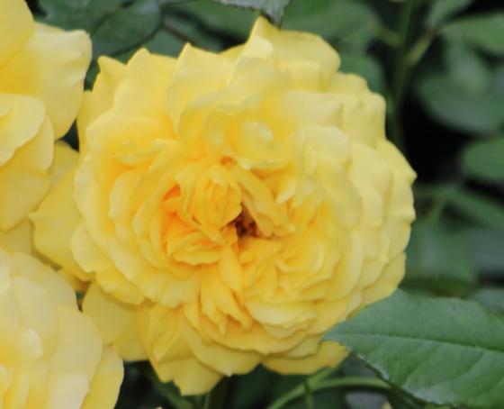 ロートレックの名前が冠されたバラ