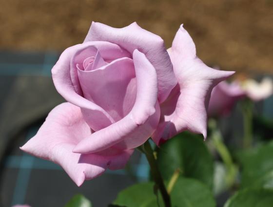 青紫色系の大輪バラ