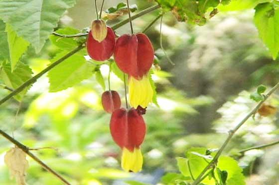 アブチロンは南米原産です