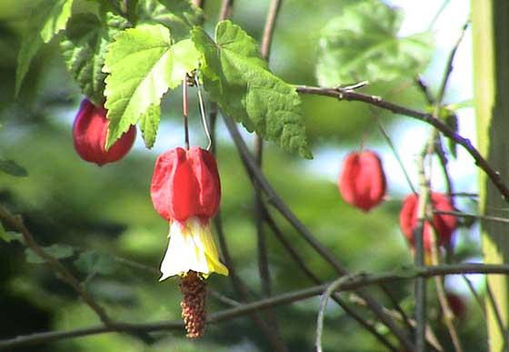 アブチロンは熱帯花木です