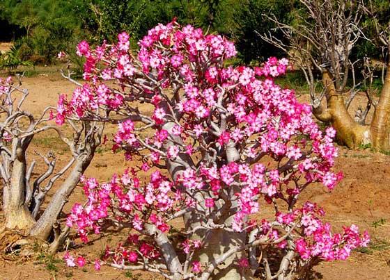 アデニウムの別名は砂漠のバラです