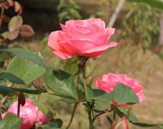 茜雲は日本で作出されたバラ
