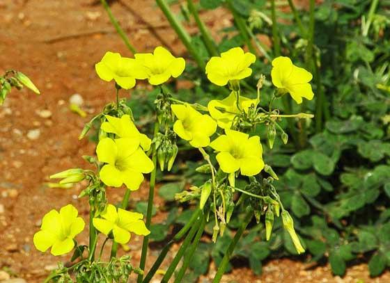 アラマンダは春から秋まで開花する