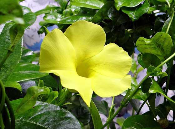 アラマンダは熱帯植物です