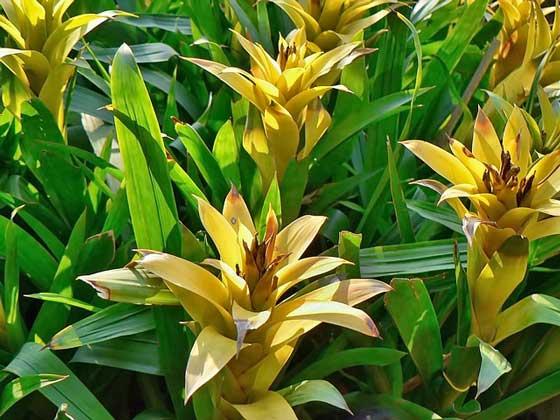 アナナスは寒さに弱い植物です