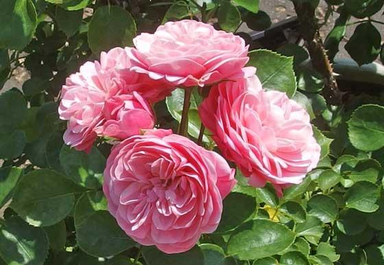 アンドレルノートルは大輪咲きです