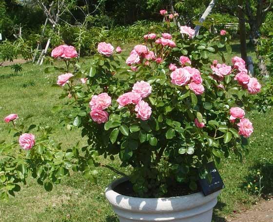 アンティーク調のバラ