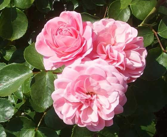 アンドレルノートルは四季咲き性