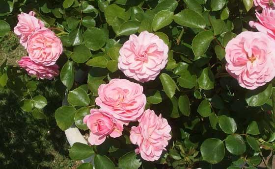 フランスのメイアン作出のバラ