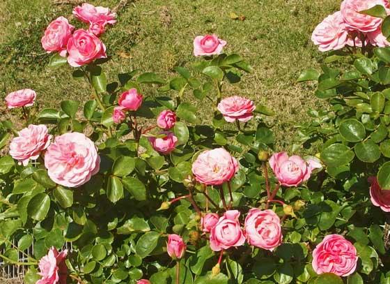 芳香賞を受賞したバラ