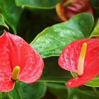 アンスリウムは熱帯植物です