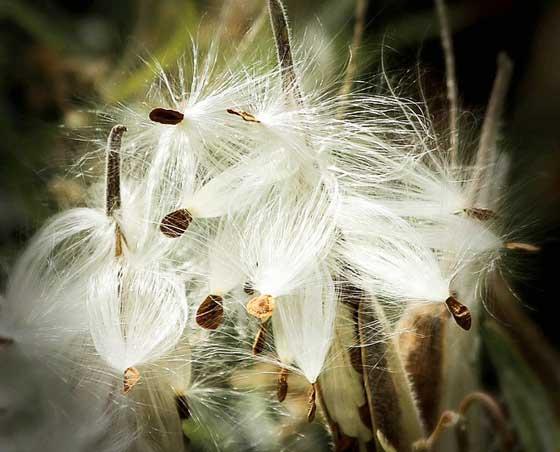 アスクレピアスは開花期が長い花