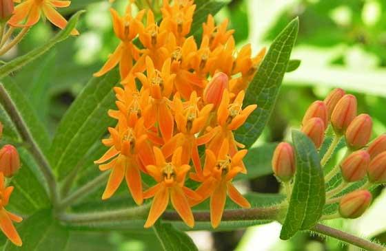 アスクレピアスは多年草または一年草