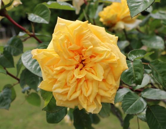 あゆみは剣弁高芯咲きの大輪バラ