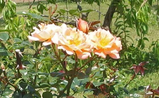 ブリッジオブサイツは四季咲き性