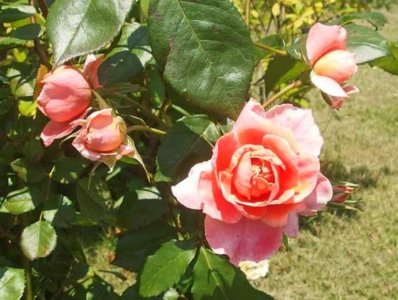 チアガールは四季咲き性です