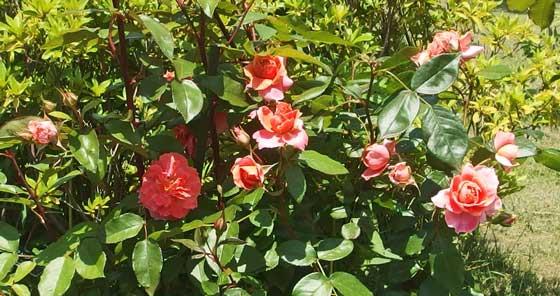 チアガールは半剣弁高芯咲き