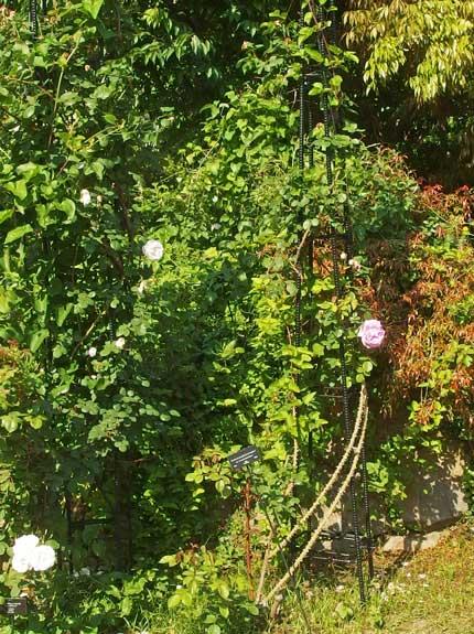 春から秋まで気ままに返り咲きます