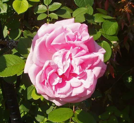 ハイブリッド・ルゴーサ系統のバラです
