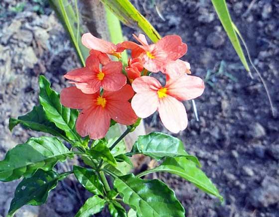 クロッサンドラは寒さに弱い植物