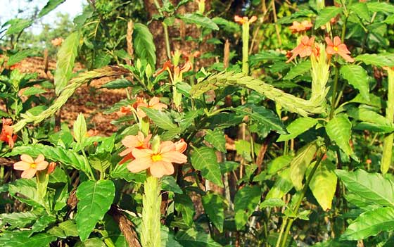 クロッサンドラは熱帯植物です