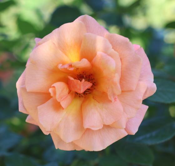 イージーダズイットはフロリバンダ系統のバラ