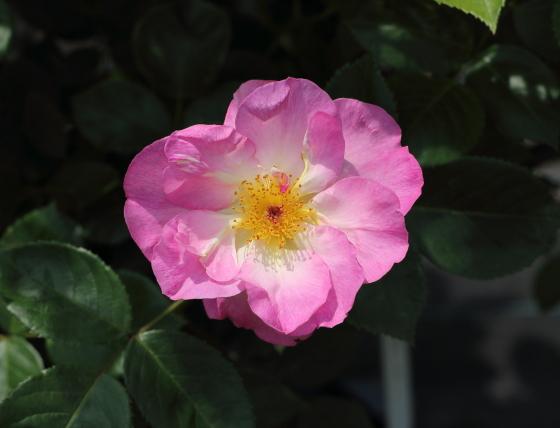 エスカぺードはフロリバンダ系統のバラ