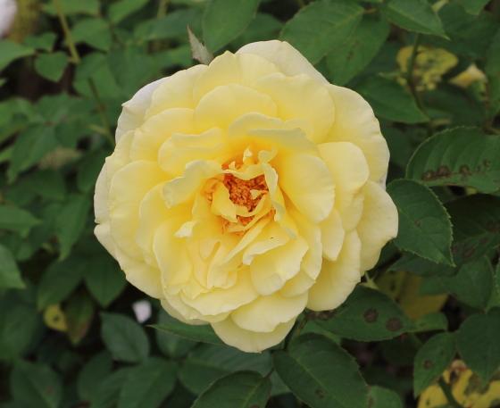 フーペルネデュッセは花弁数の多い花形