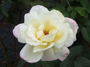 ガーデンパーティは黄色のバラ