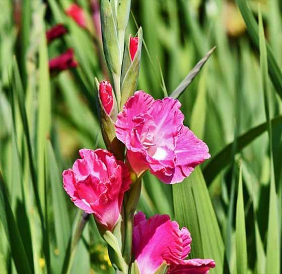 グラジオラスは切り花にも適する