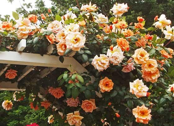 春の生田緑地ばら苑