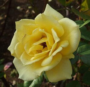 インカは濃い黄色のバラ