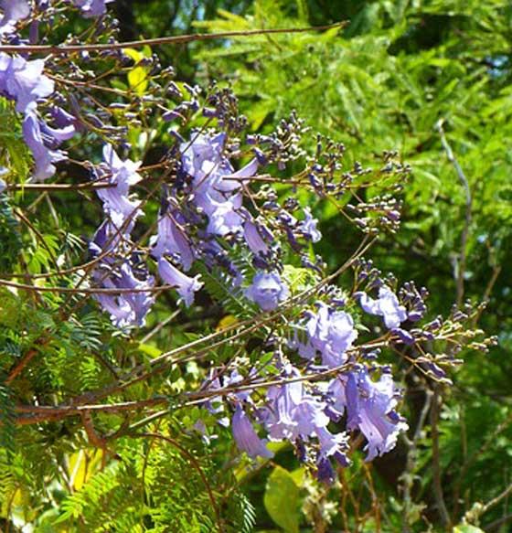 ジャカランダは熱帯植物です