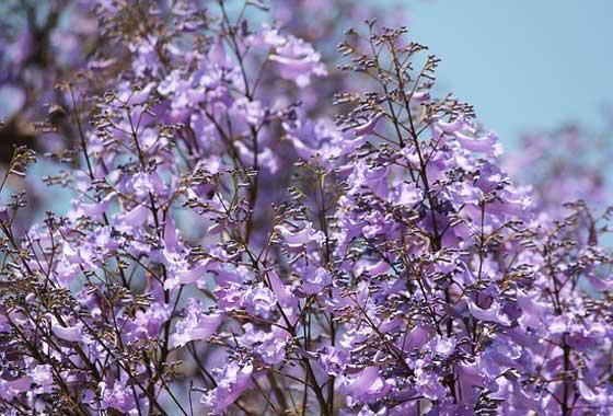 ジャカランダは藤色の花