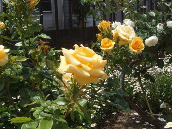 ジュリアチャイルドは黄色のバラ