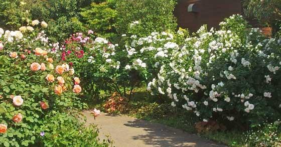 春の花菜ガーデンのバラ