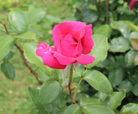 ベルサイユのバラをシリーズ化して作出された品種