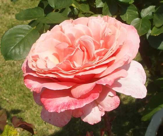 ローランカブロルは四季咲きです